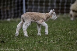 Sheep_115
