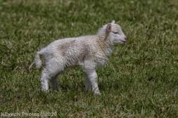 Sheep_14