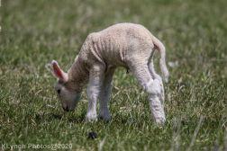 Sheep_16