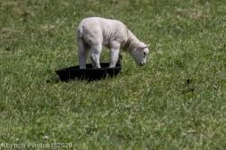 Sheep_17