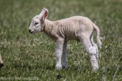 Sheep_18