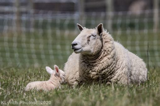 Sheep_20