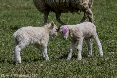Sheep_21