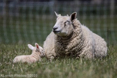 Sheep_22