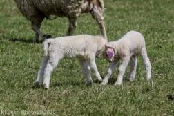 Sheep_23
