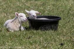 Sheep_24