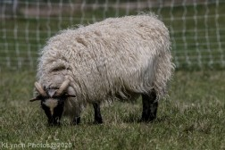 Sheep_25