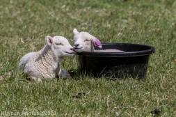 Sheep_26