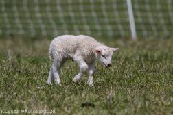Sheep_27