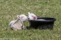Sheep_28