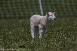 Sheep_29