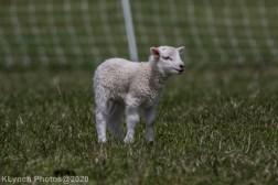 Sheep_30