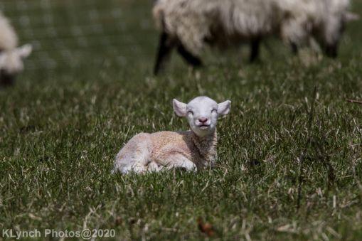 Sheep_31