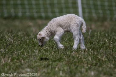 Sheep_32