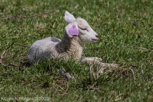 Sheep_33