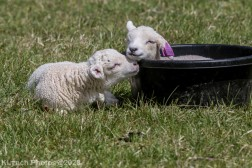 Sheep_34
