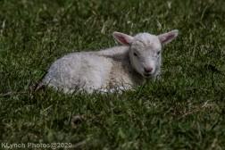 Sheep_35