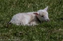 Sheep_36