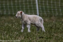 Sheep_37