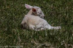 Sheep_38