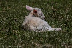 Sheep_39