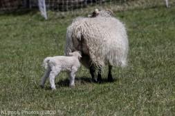 Sheep_4