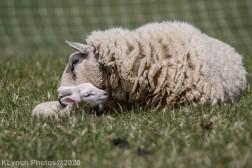 Sheep_40