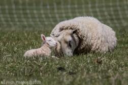 Sheep_41