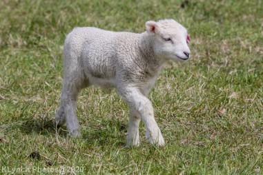 Sheep_43