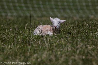 Sheep_44