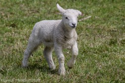 Sheep_45