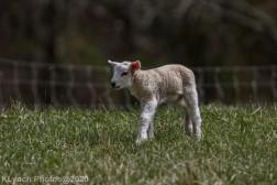 Sheep_46