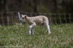 Sheep_47