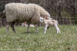 Sheep_48