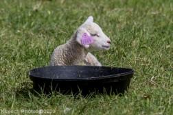 Sheep_49