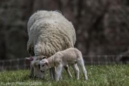 Sheep_50