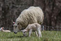 Sheep_51