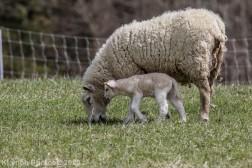 Sheep_52