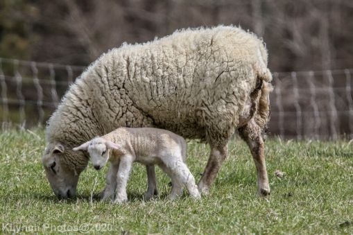 Sheep_53