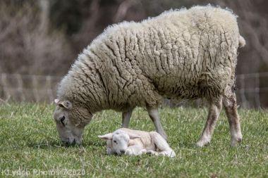 Sheep_54