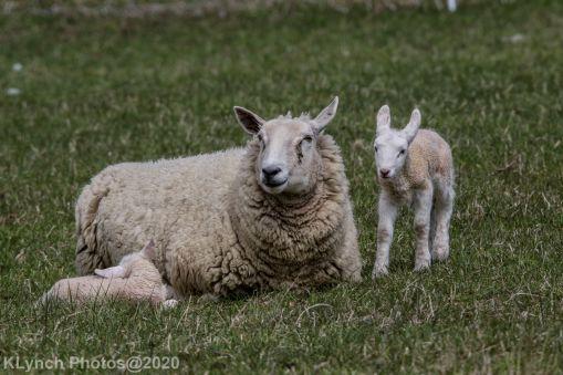 Sheep_56