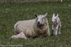 Sheep_57