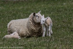 Sheep_58