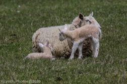 Sheep_59