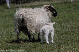 Sheep_6