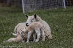 Sheep_60