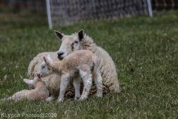 Sheep_61