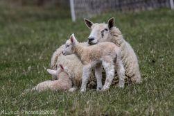 Sheep_62