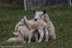 Sheep_63