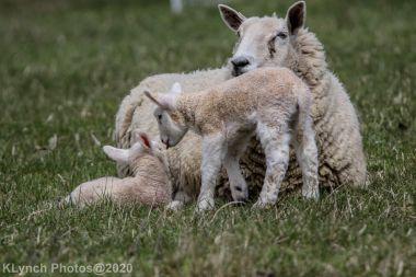 Sheep_65